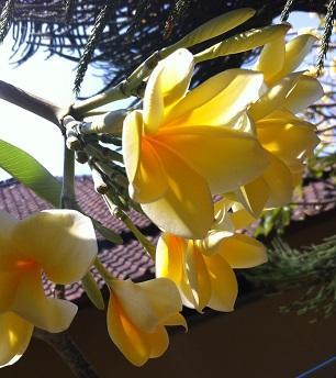 Франжипани — аромат праздника.